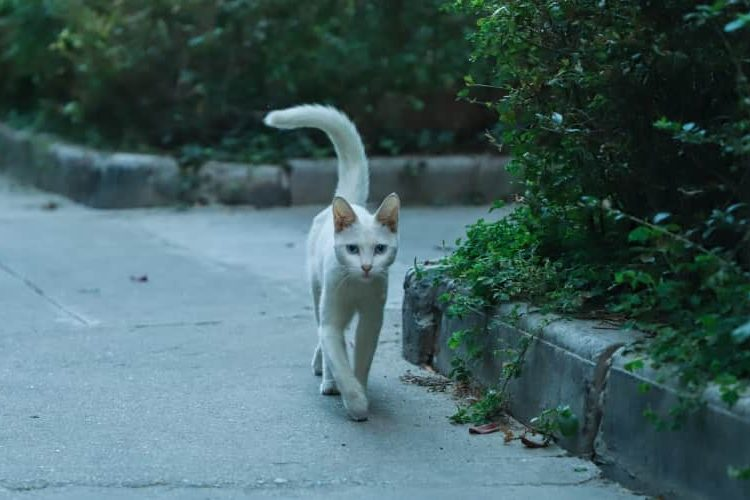 White cat walking on pavement with his tail curled